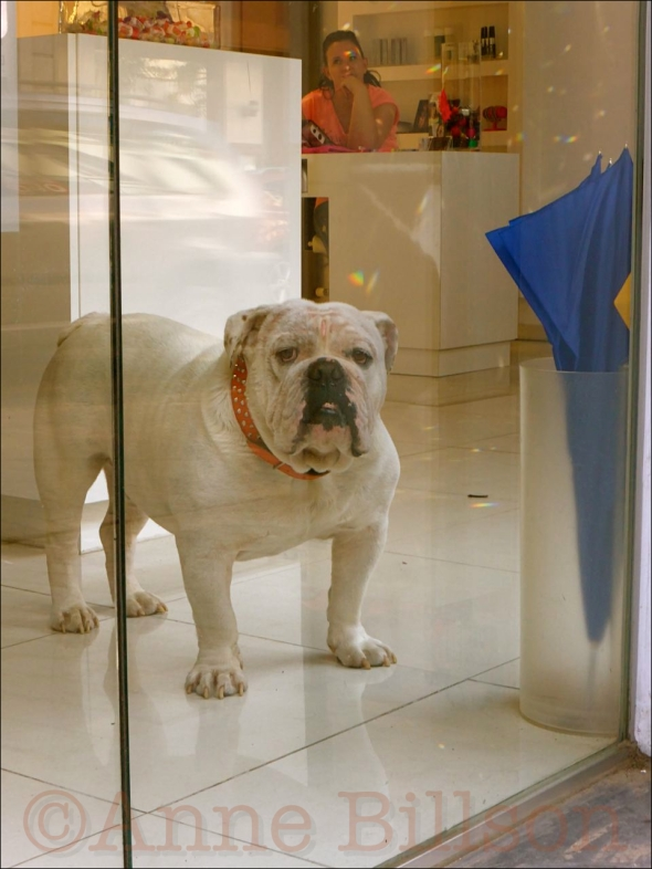 Bulldog: Alsemberg