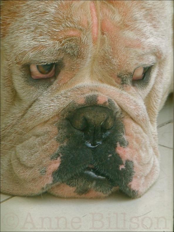 bulldog02