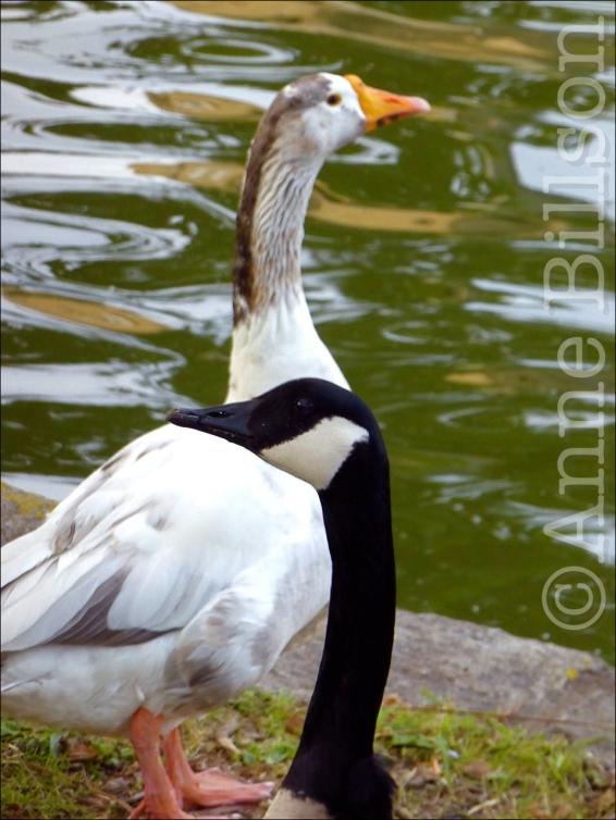 goose02