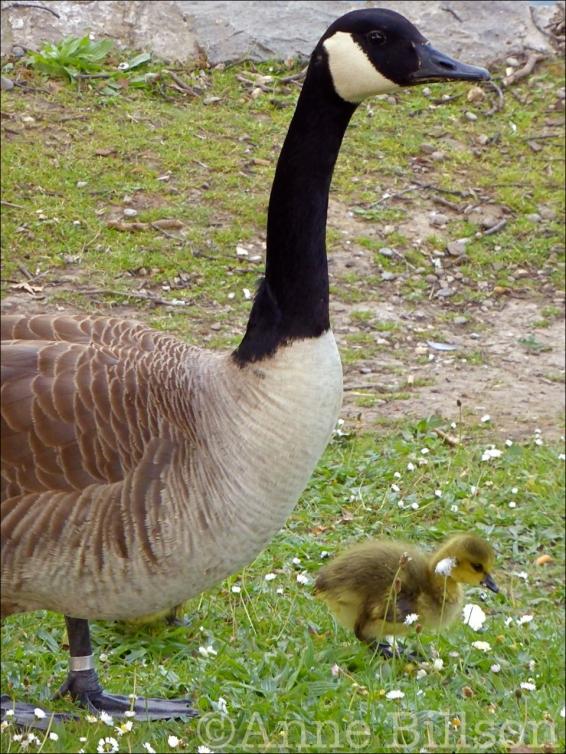 goose03